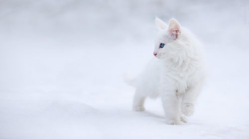 White cat in the white snow